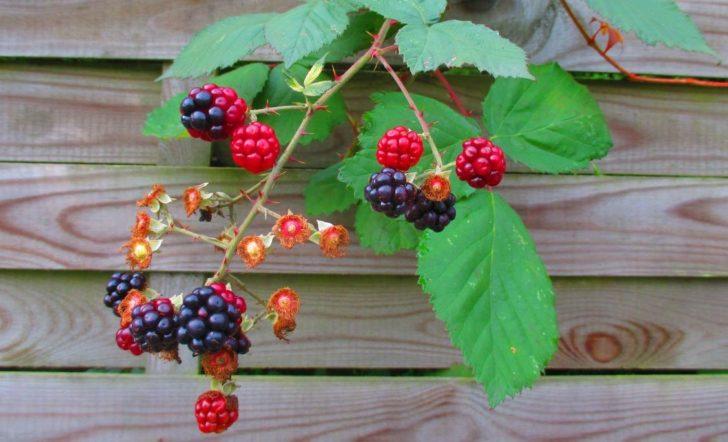 Лечебные свойства ягод листьев и веточек ежевики
