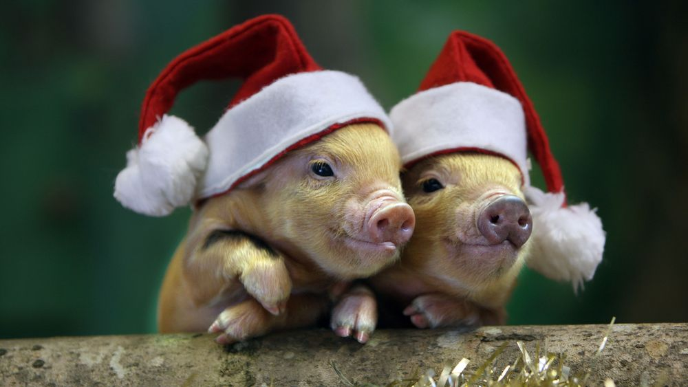 Christmas pigs 2019